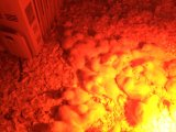 Lámpara infrarroja roja asada 250W infrarroja de la lámpara de calor R40
