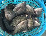 Pescados negros congelados chinos Chopa de la Tilapia