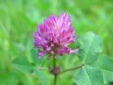 Biochanin un 98% par l'extrait de trèfle violet de HPLC