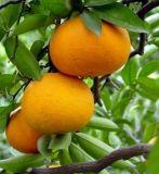 Het slanke Bittere Oranje Uittreksel CAS 20702-77-6&#160 van Ingredien Nhdc;