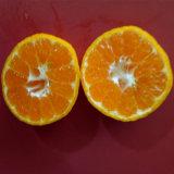 O mandarino doce pequeno do bebê da boa qualidade