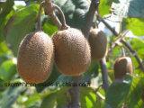 China Fresh Kiwi con alta calidad y buen precio.