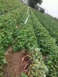Fertilizzante del terreno di Unigrow sulla piantatura della patata dolce