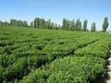Высокая сладость Низкокалорийное питание присадки для магазина Stevia сахар порошок Ra97%