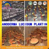 Ganoderma集中された壊されたLucidumの粉