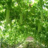 ISO zugelassenes Balsam-Birnen-Gemüse pulverisiert