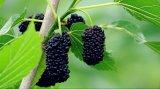 [هيغقوليتي] /Mulberry عنّبيّ [إإكستركت/] نباتيّ صبغ طبيعيّة