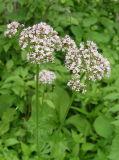 Hochwertiger Baldrian-Wurzelauszug/Valeriana Officinalis Auszug