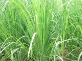 Pure Natural Lemongrass Aceite esencial Precio de fábrica