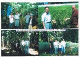 Melhoria de qualidade do solo de Unigrow em alguma plantação da fruta
