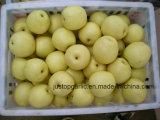Collecte neuve poire fraîche d'Asie/tête