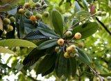 고품질 Loquat 잎 추출 Ursolic 산 98%