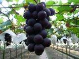 Fertilizzante organico per la polvere dell'amminoacido dell'uva 80%