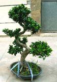 Ficus di S Mdoel (HBH-FI-04)