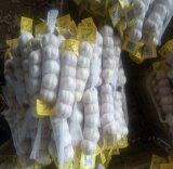 حادّة يبيع طازج بروز علاوة نوعية [غرليكس] عالية بيضاء