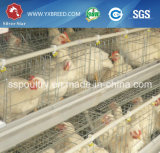 Клетка слоя цыпленка цыплятины к Алжиру/Камеруну
