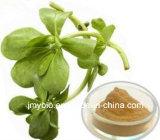Extrato natural puro de Bacopa Monniera, 10%~60% Bacopasides, 10:1