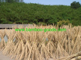 Bastón sin procesar del bambú de Tonkin de la fábrica