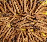 食糧および補足のためのCordycepsのエキスの多糖類
