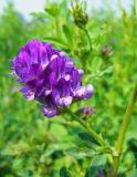 Extracto de alfalfa 10: 1, 5% Flavonoides totales de UV-Vis