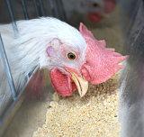 [500كغ] مصنع إمداد تموين كاملة [1ت/ه] دواجن دجاجة تغطية كريّة طينيّة مطحنة معمل