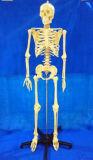 Het medische Plastic Model van het Been van het Skelet van de Demonstratie Menselijke (R020103A)