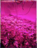 Apollo 180W LED de hortalizas de invernadero luz crecer