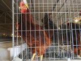 Automatisches Schicht-Brüter-Huhn-Rahmen-System für Geflügelfarm (ein Typ Rahmen)