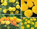 Ringelblume-Auszug-wasserlösliches Zeaxanthin-Xanthophyll des Lutein-5%-98% (CAS Nr.: 127-40-2)
