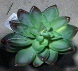 Piante e fiori artificiali della pianta succulente Gu-Sc024