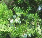Natural 100% Puro Aceite de Ciprés de aceite de hoja de cedro Cedrus Oil Aceite con Fragancia de alimentos el sabor del aceite de la base de aceite esencial