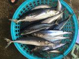 замерли морем, котор цена рыб скумбрии 250-350g
