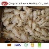 La nouvelle récolte de gingembre frais pour l'exportation