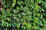 5%-10% Hederacosidecの高性能液体クロマトグラフィーのキヅタの葉のエキス