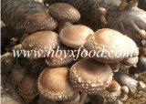 Intero fungo di Shiitake con la protezione liscia