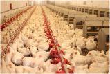 Casa de frango /Granja/Galpão de frango com gaiolas de camada de frango Tipo H