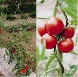 Fio espiral / suporte de plantas com tomate / fio espiral de tomate