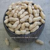 중국에서 쉘 긴 유형 둥근 유형에 있는 새로운 작물 땅콩