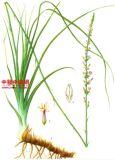 10:1 naturale dell'estratto di Rhizoma Anemarrhenae