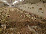 フルセットの養鶏場装置が付いている養鶏場