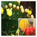 Выдержка кактуса Hoodia высокого качества