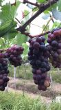 Uva que planta con el acondicionador del suelo de Unigrow