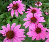Polyphenol 0.5%-7% van Purpurea van Echinacea door Echinacea Purpurea Uittreksel