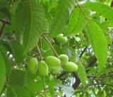 Extrato de folha de oliveira/Oleuropein CLAE para alimentos e complementar