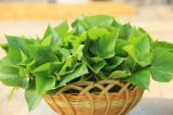 La fabbrica fornisce l'estratto naturale del foglio della patata dolce di 100%