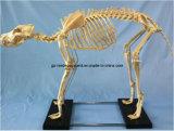 実物大のプラスチック人間の胴猫犬の胎児の骨組