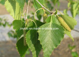 Estratto Flavonoides 5%-10% del foglio della betulla, buon per diuretico