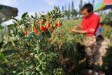 Het Poeder van de Bes van Goji/Wolfberry Poeder 100% Natuurlijke microgolf-Droog
