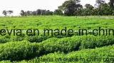 Lebensmittel-Zusatzstoffe hohes Pureity Stevia-Auszug-Puder für Gesundheit