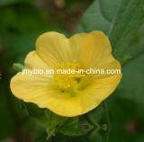 10% Alkaloid-Gewicht-VerlustSida Cordifolia Auszug-5:1